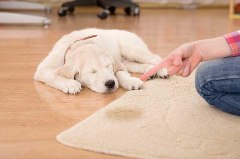 پاک کردن لکه ادرار حیوانات خانگی از روی فرش
